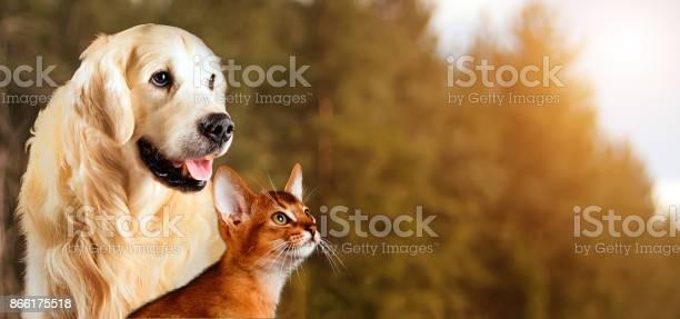 Cat and dog abyssinian cat golden retriever together on peaceful picture id866175518?b=1&k=6&m=866175518&s=612x612&h=mvscq1cojsy1dcc6xk1eke w6onksdkjub6 hrlswhi=