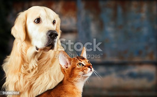 istock Cat and dog, abyssinian cat, golden retriever together on rusty colorful background, sad anxious mood. 948962654