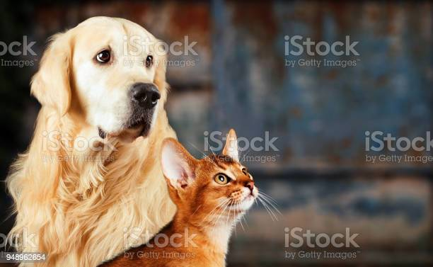 Cat and dog abyssinian cat golden retriever together on rusty sad picture id948962654?b=1&k=6&m=948962654&s=612x612&h=jb4m4hrinryt25vk5gyignzakm2e5ppj5t 5crl0emm=