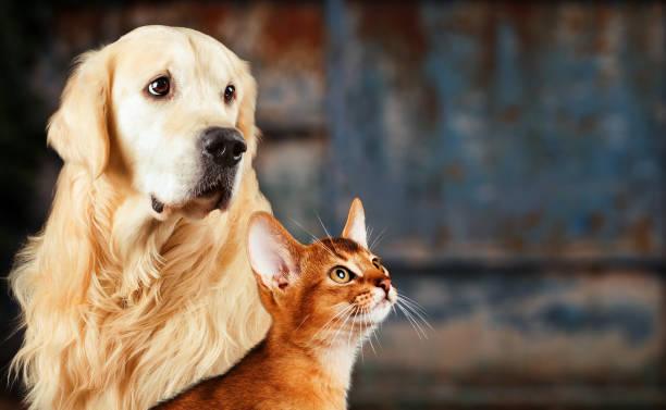Cat and dog abyssinian cat golden retriever together on rusty sad picture id948962654?b=1&k=6&m=948962654&s=612x612&w=0&h=rhqq8n2gozvbigcyjf0qriaxnz6tsdtawiihpaysmxi=