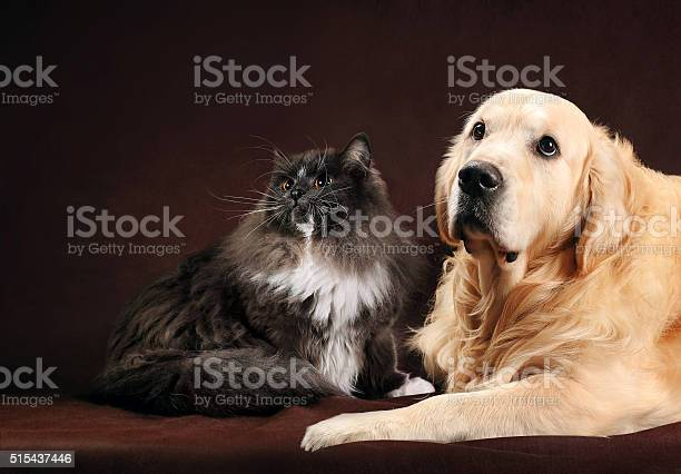 Cat and dog abyssinian kitten golden retriever looks at left picture id515437446?b=1&k=6&m=515437446&s=612x612&h=yi67gcpaw kiznvily7vl0zfsr3xfmokhqkv8rqynwc=