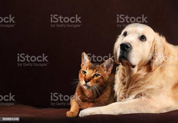 Cat and dog abyssinian kitten golden retriever looks at left picture id958864346?b=1&k=6&m=958864346&s=612x612&h= nisr4fwpoq7fscvzjhrlgpnu 2by2uo3jdwpf8tcq0=