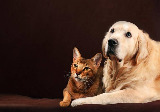 Cat and dog abyssinian kitten golden retriever looks at left picture id958864346?b=1&k=6&m=958864346&s=612x612&w=0&h=pk8m5nj8rljpz7vueraopy80gjrmr6vccdp5tcu ers=