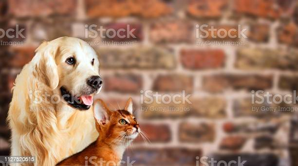 Cat and dog abyssinian kitten golden retriever looks at right in of picture id1127520515?b=1&k=6&m=1127520515&s=612x612&h=umvvlg8fzza8vw y5ftofmxlp1kkfffvyolggfcdvia=