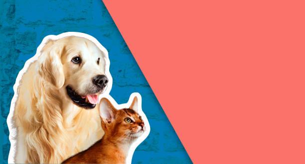 Cat and dog abyssinian kitten golden retriever looks at right in of picture id1127520526?b=1&k=6&m=1127520526&s=612x612&w=0&h=og0voqwrg5huba97bv7qb1cx6 e0ko9ls0axg5dgcow=