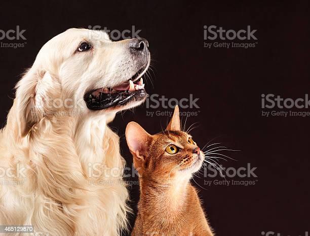Cat and dog abyssinian kitten golden retriever looks at right picture id465129870?b=1&k=6&m=465129870&s=612x612&h=3qj6h vz8vpwtm4jp7usf1240zzx6jyckjdmrlbktse=
