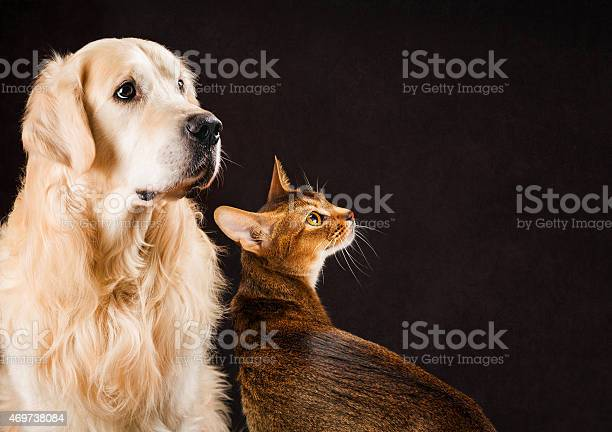 Cat and dog abyssinian kitten golden retriever looks at right picture id469738084?b=1&k=6&m=469738084&s=612x612&h=ivgmc1vwuzkzfnvulsiv85eqeuwefsvnnkwyjfidnss=