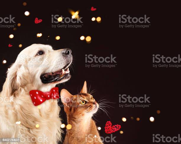 Cat and dog abyssinian kitten golden retriever looks at right picture id640274402?b=1&k=6&m=640274402&s=612x612&h=0ixmgpu5lcscjnc7z2mporcq0myod2epijpwuw3kvns=