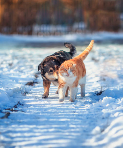 Cat and dog amicably walk side by side on a walk on a snowy courtyard picture id1208195111?b=1&k=6&m=1208195111&s=612x612&w=0&h=azjc2bp4igpjaxuztpikdctyy6srfu4ozk wfndjyps=