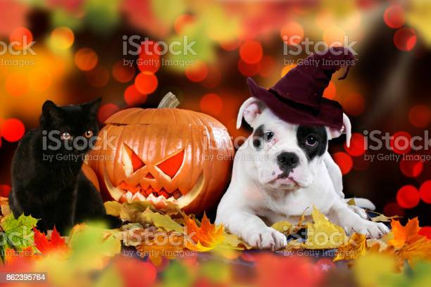 Cat and dog beside pumpkin picture id862395764?b=1&k=6&m=862395764&s=612x612&h=09vprinfoidsjn8vq56qfsttetqtjrb4bqfuiyxlqqk=