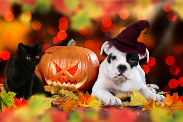 cat and dog beside pumpkin American puppy sitting beside pumpkin and colorful autumn leaves with witch cap and black cat halloween cat stock pictures, royalty-free photos & images