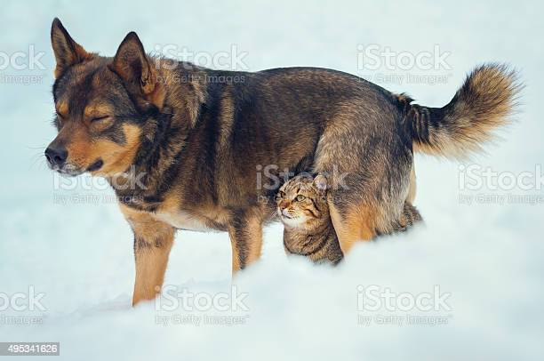 Cat and dog best friends outdoors in the snow picture id495341626?b=1&k=6&m=495341626&s=612x612&h=hkwjy33cldqgebacksy9qj9yutibh lze10g32kccja=