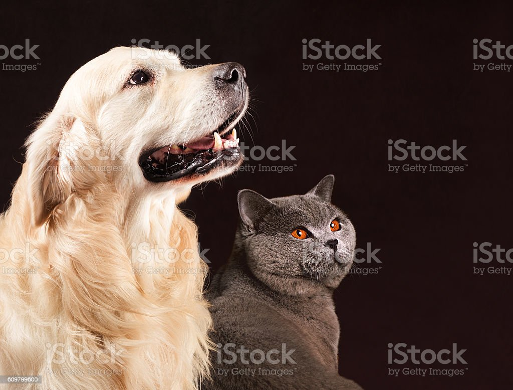 Cat And Dog British Shorthair Golden Retriever Looks At Right Stock Photo -  Download Image Now