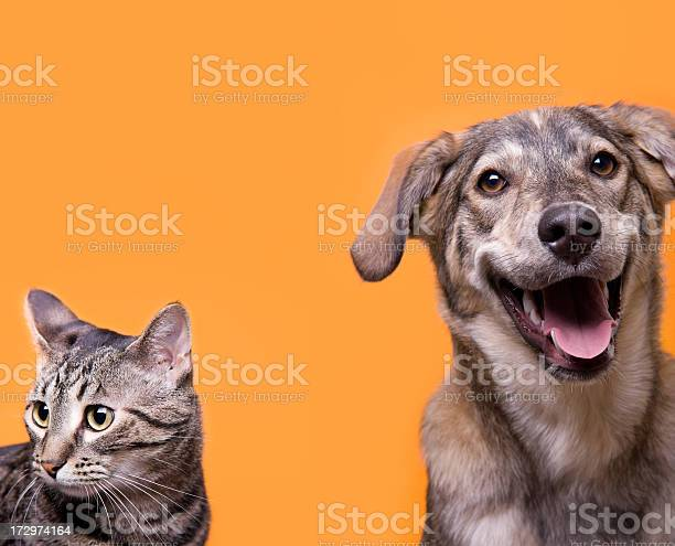 Cat and dog buddies with orange background picture id172974164?b=1&k=6&m=172974164&s=612x612&h=scryv3c wlxvlmeohtwpxai 3lpcw3kqhtnr we03xm=