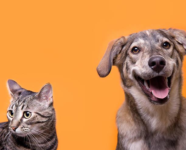Cat and dog buddies with orange background stock photo