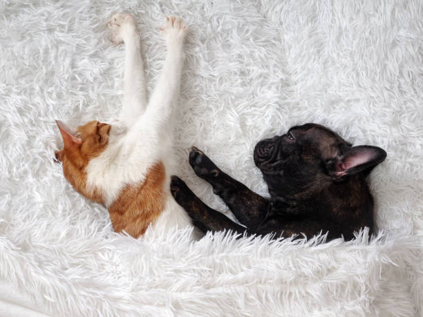 Cat and dog cute animals are on the bed warm white fluffy blanket picture id646829246?b=1&k=6&m=646829246&s=612x612&w=0&h=4qrnnukwixrww1cqmv9t8p68ub vatjbdsxov2xx7ks=