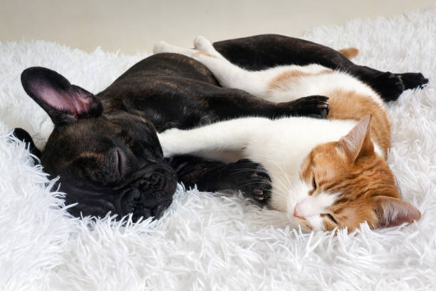 cat and dog. Cute animals are on the bed. Warm white fluffy blanket stock photo