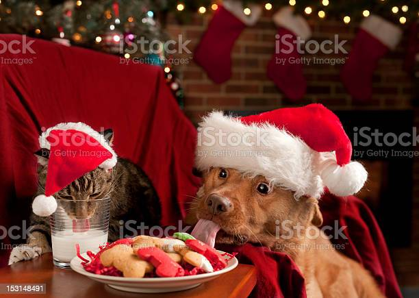 Cat and dog eating santas snack picture id153148491?b=1&k=6&m=153148491&s=612x612&h=mkhrfdzxnnzgldlt2haj6kga3nuojqyd7hmtjyzye7s=