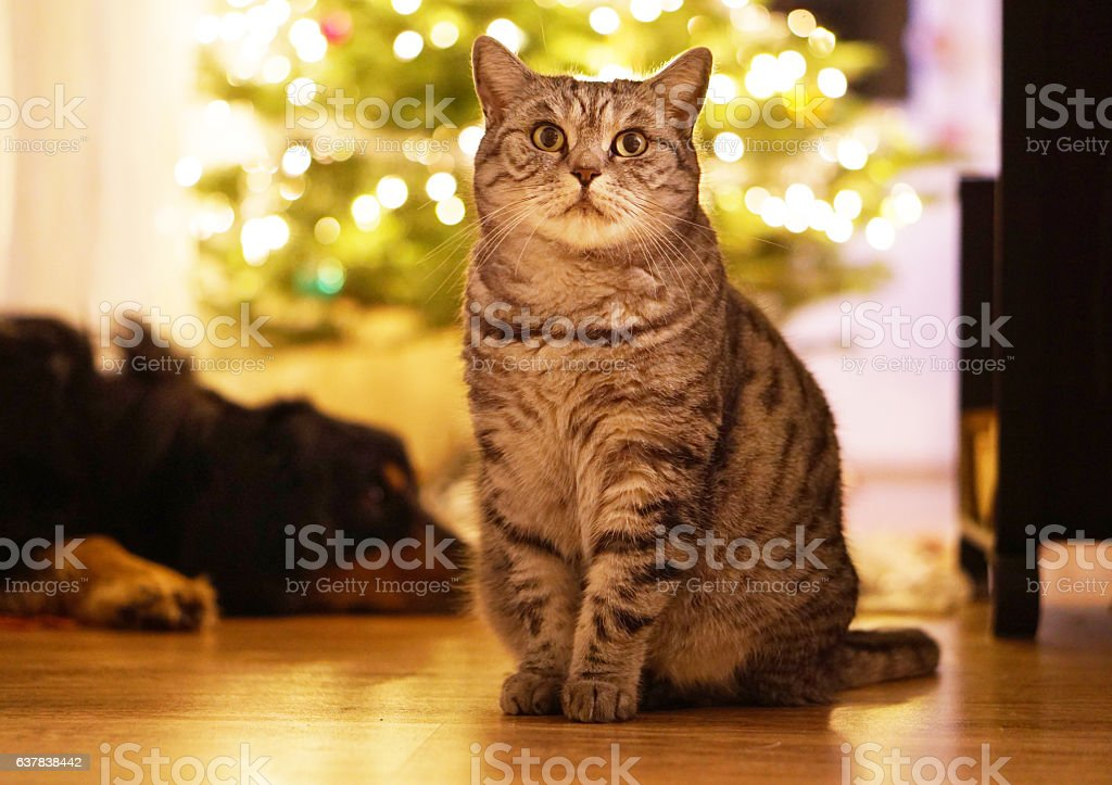Cat and dog enjoy Christmas stock photo