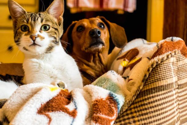 Cat and dog friendship picture id950229452?b=1&k=6&m=950229452&s=612x612&w=0&h=0bzvl9v6bvill wm fl8oclpw 68kr1tlnyfam0t hq=