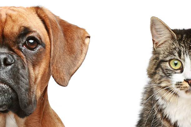 kot i psem itp. połowie kaganiec zbliżenie portret - bokser pies zdjęcia i obrazy z banku zdjęć