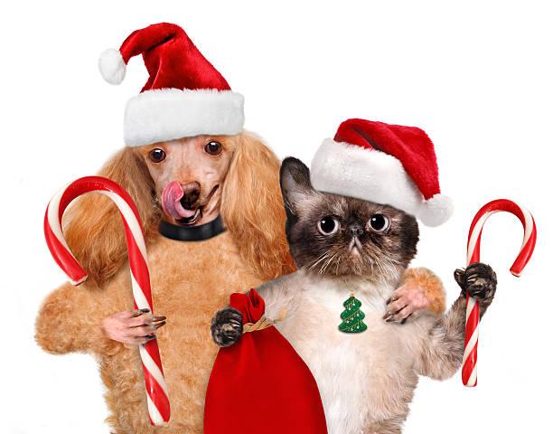 gatto e cane in cappello rosso tiene la caramella di natale. - sugar cane foto e immagini stock