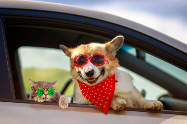 Cat and dog in sunglasses stuck their muzzles and paws out of the car picture id1270960622?b=1&k=6&m=1270960622&s=612x612&w=0&h=j6cqxa5zhqyyt0fexvitt7jot0yv jb6hnc43ihnqjc=