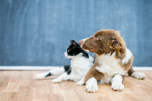 A tuxedo cat and a light brown collie dog lie on the floor directly next to each other. They are both looking at something to the left.