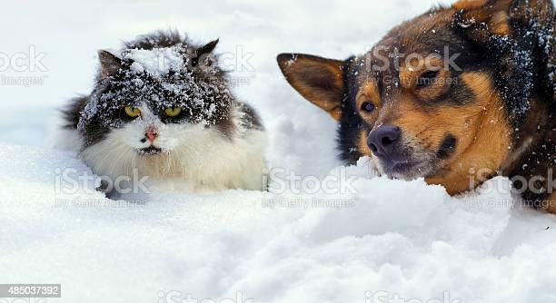 Cat and dog lying on the snow in cold winter picture id485037392?b=1&k=6&m=485037392&s=612x612&h=0q3 8h0axicvq52lnqptbjxluyzdfxwf kc58iutc74=