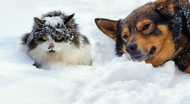 Cat and dog lying on the snow in cold winter picture id485037392?b=1&k=6&m=485037392&s=612x612&w=0&h=uqryuvthjgtyi rwonswswj4d91 irask4u dvji55m=