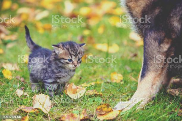 Cat and dog outdoors on the grass with fallen leaves little kitten picture id1091768006?b=1&k=6&m=1091768006&s=612x612&h= bqoeti2ojwtk5ciivunwzbztqam0yz5winil ouiuk=