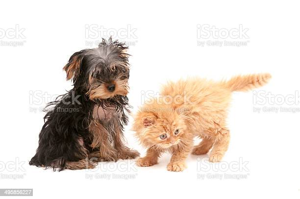Cat and dog picture id495856227?b=1&k=6&m=495856227&s=612x612&h=yrlfmqb 4raeroze3kmhmjnummknc yvo5bmq5 k93i=