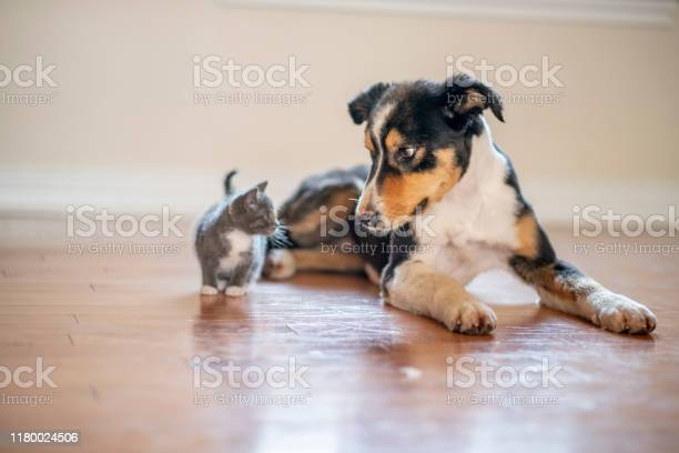 Cat and dog playing stock photo picture id1180024506?b=1&k=6&m=1180024506&s=612x612&h=knbsatuk4rz1j95fp5diowqlorrfap3jf1ihjaqoyl8=