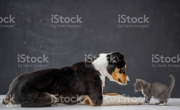 Cat and dog playing stock photo picture id1180024522?b=1&k=6&m=1180024522&s=612x612&h=2op9vbtryujah5m9xcvei66oynivwofxdd9rypjdv3o=