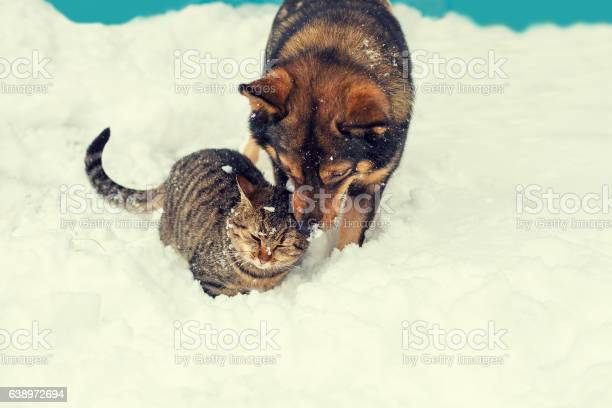 Cat and dog playing together on the snow in winter picture id638972694?b=1&k=6&m=638972694&s=612x612&h=3ffxwwt8yp xt6po6bmsgobf9vlxr3etjgy9dsbejeg=