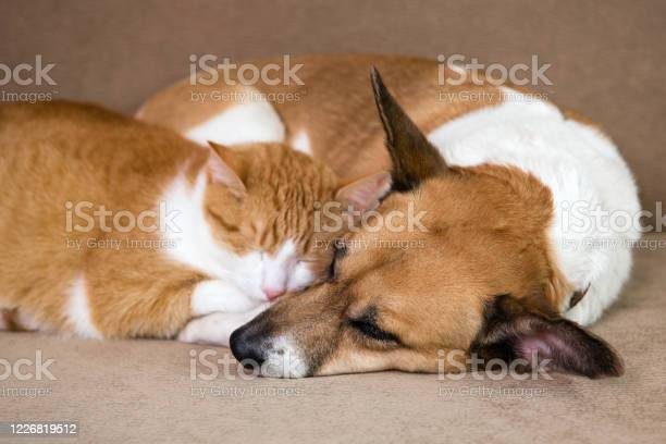 Cat and dog resting together on sofa best friends picture id1226819512?b=1&k=6&m=1226819512&s=612x612&h=vgu0xwh te0xm j90ncmqznl1fzu3bcmhkv 1q1 u7y=