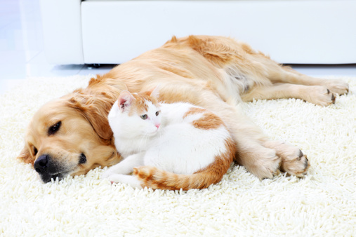 Friendship of dog and cat- resting together.