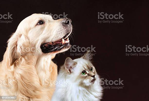 Cat and dog siberian kitten golden retriever looks at right picture id610050662?b=1&k=6&m=610050662&s=612x612&h=6hotfvunm5ettnafqay 2sa3pvnbngntx4yg3s8n 0i=