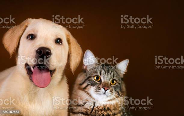 Cat and dog siberian kitten golden retriever looks at right picture id640162534?b=1&k=6&m=640162534&s=612x612&h=lfxm8mo0ls5 ig34 0guhrpusrkcqmqj1nndhp05uje=