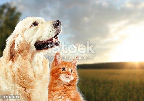 istock Cat and dog, siberian kitten , golden retriever looks at right 802376638