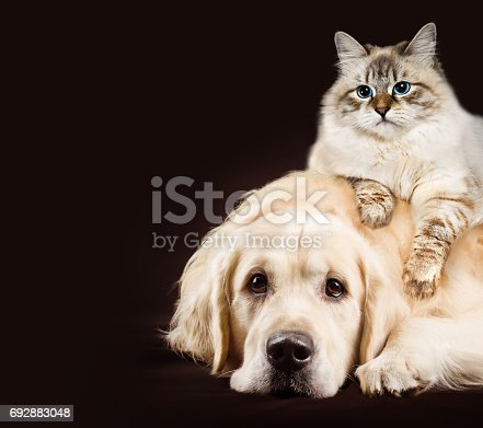 istock Cat and dog, siberian kitten , golden retriever together on dark brown background 692883048