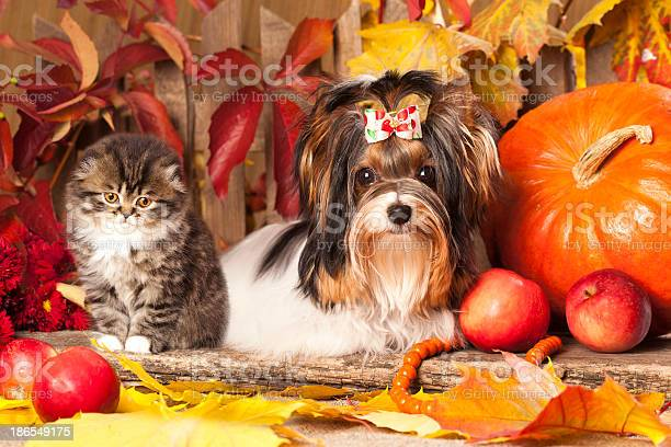 Cat and dog sit with a pumpkin in a harvest themed picture picture id186549175?b=1&k=6&m=186549175&s=612x612&h=xcy6tcbbgu5b2sl77fuugxl wifd7mxr3aodvfzlbia=