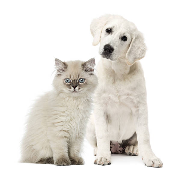Cat and dog sitting isolated on white picture id609716160?b=1&k=6&m=609716160&s=612x612&w=0&h=irpzukccppytmspynqduqxvc5thia3q1m8i07ap a8u=