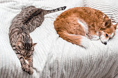 istock Cat and dog sleep together on the bed at home. concept relax 1254191704