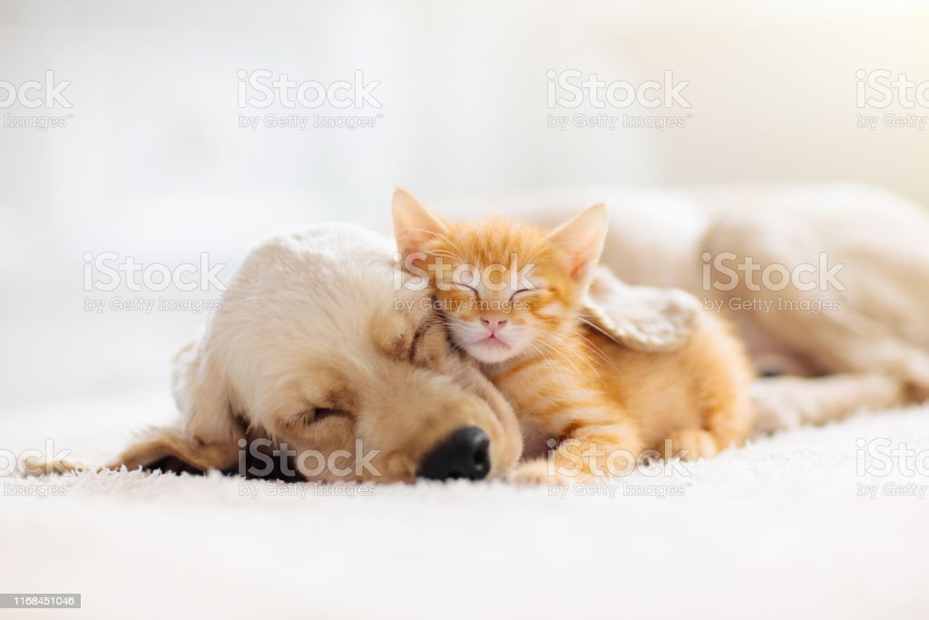 Cat and dog sleeping. Puppy and kitten sleep. Cat and dog sleeping together. Kitten and puppy taking nap. Home pets. Animal care. Love and friendship. Domestic animals. Animal Stock Photo