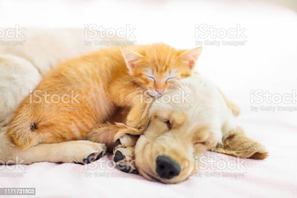 Cat and dog sleeping puppy and kitten sleep picture id1171731803?b=1&k=6&m=1171731803&s=612x612&h=v pscal7s0qv3pickfctj68h8dyflzjhuk1j6jh4zec=