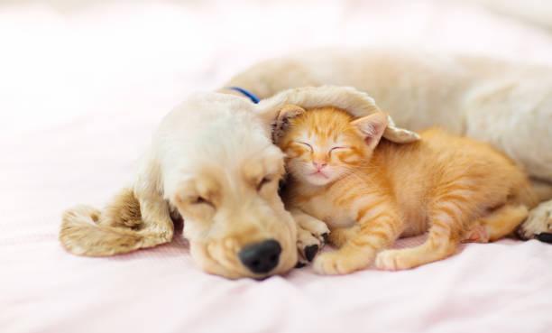Cat and dog sleeping. Puppy and kitten sleep. stock photo