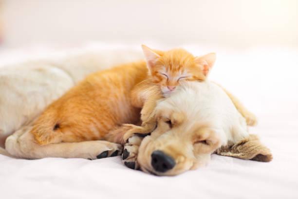 Cat and dog sleeping puppy and kitten sleep picture id1212660285?b=1&k=6&m=1212660285&s=612x612&w=0&h=amhkplxr r0qeyxhbv4ppkdl btgp2et8thzmi07t9k=