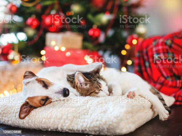 Cat and dog sleeping under christmas tree picture id1058526898?b=1&k=6&m=1058526898&s=612x612&h=sf eovy560lhlbgspu7p0qz4sq9jzd4 1czvghvj9ac=