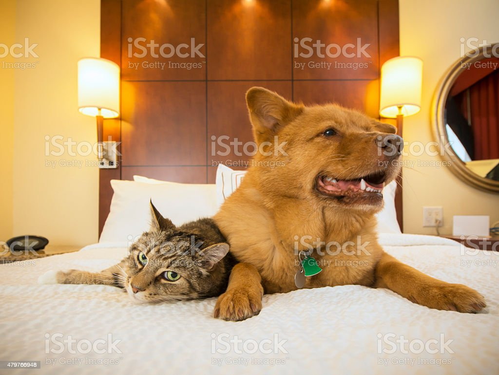 Cat and Dog together in hotel bedroom stock photo